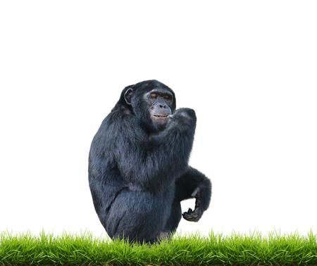 simia troglodytes: chimpanzee with green grass isolated on white background Stock Photo