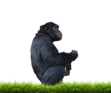 bonobo: chimpanzee with green grass isolated on white background Stock Photo