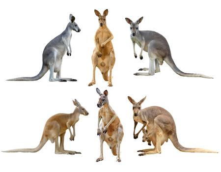 kangaroo isolated on white background