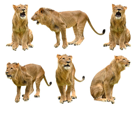lion isolated on white background photo