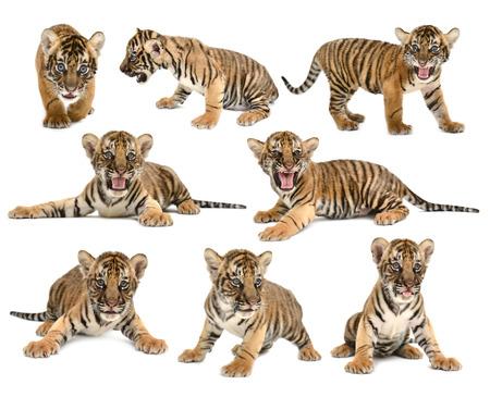 tigre blanc: b�b� tigre du Bengale, isol� sur fond blanc Banque d'images