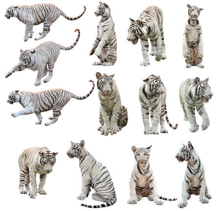 tigre blanc: tigre de bengale blanc isolé sur fond blanc Banque d'images