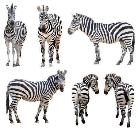 Zebra isoliert auf weißem Hintergrund Standard-Bild - 24096367