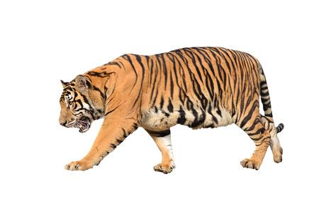 Bengaalse tijger op een witte achtergrond Stockfoto