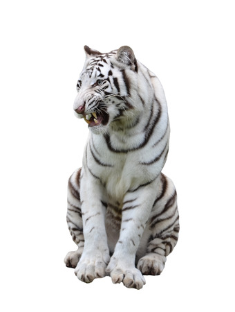 tiger white: white bengal tiger isolated on white background