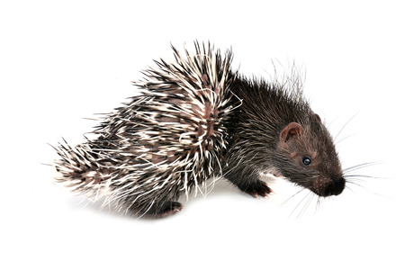 baby porcupine isolated on white background