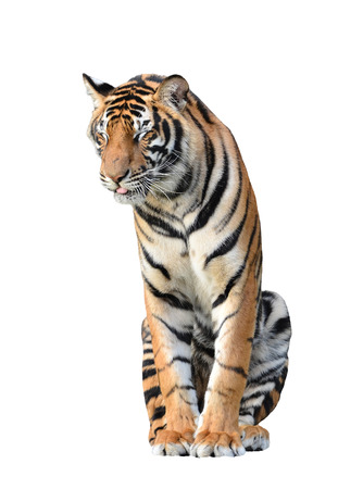 tiger isolated: bengal tiger isolated on white background