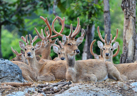 group of elds deer resting in the forest photo