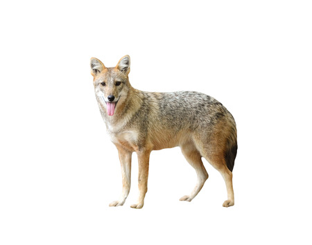 golden jackal isolated on white background 스톡 콘텐츠