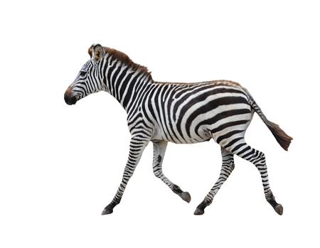 Zebra isoliert auf weißem Hintergrund Standard-Bild - 24610668