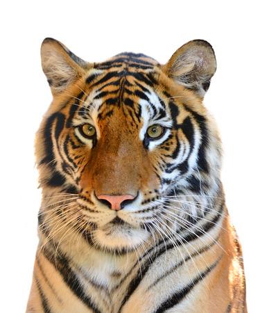 tigre blanc: t�te de tigre isol� sur fond blanc