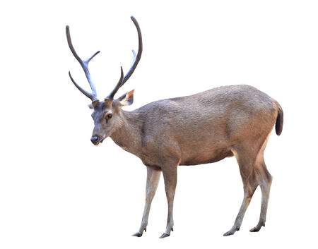 asia deer: male sambar deer isolated on white background