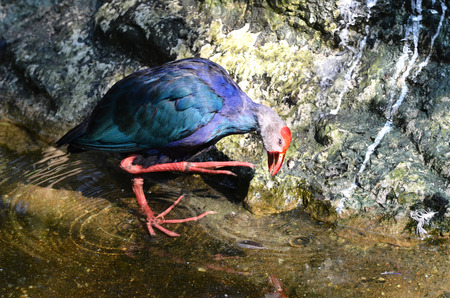 purple swamphen: Purple Swamphen (Porphyrio porphyrio)