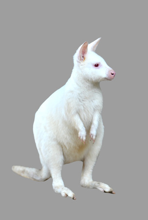 wallaby: albino wallaby isolated on white background
