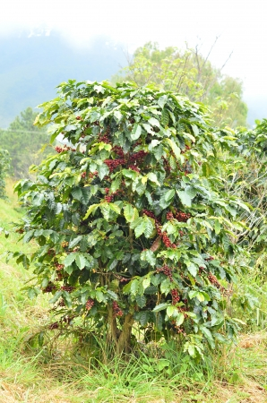 garden bean: fresh arabica coffee bean in coffee garden