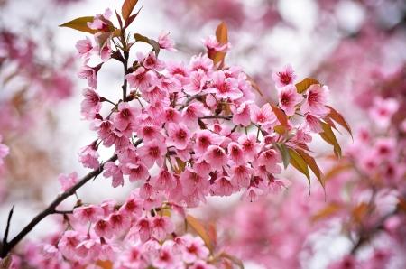 beautiful wild himalayan cherry flower ( Prunus cerasoides )