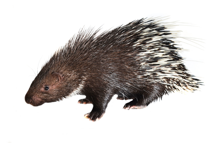 porcupine isolated on white background