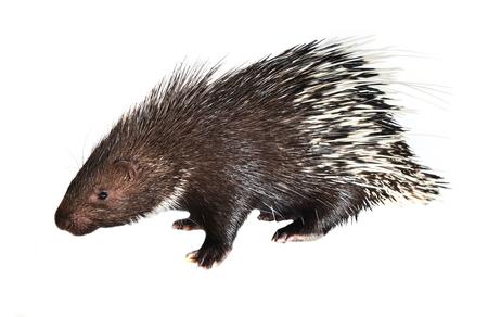 porcupine isolated on white background