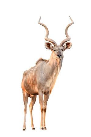 male greater kudu isolated on white background photo