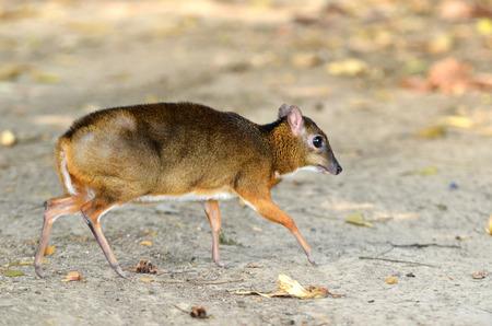 lesser: lesser mouse deer (Tragulus javanicus)