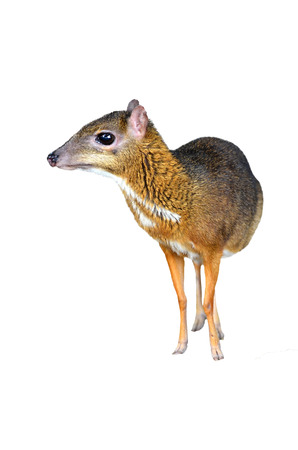 asia deer: lesser mouse deer isolated on white background Stock Photo