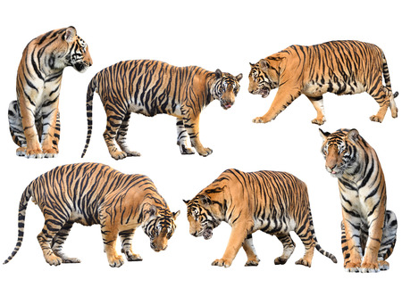 bengal tiger isolated collection on white background