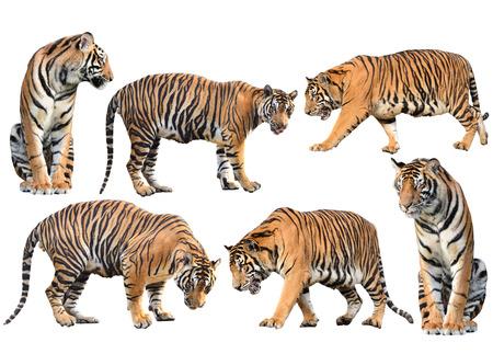 tigre blanc: collection tigre du Bengale isolé sur fond blanc