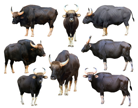 collection of gaur isolated on white background