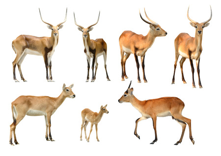 collection of red lechwe isolated on white background photo