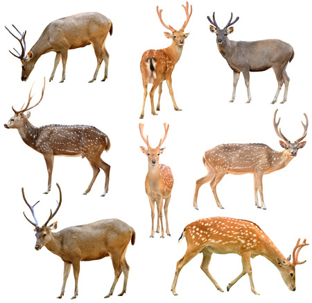 collection of deer isolated on white background