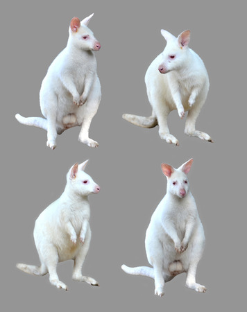 wallaby: collection of albino wallaby isolated on white background