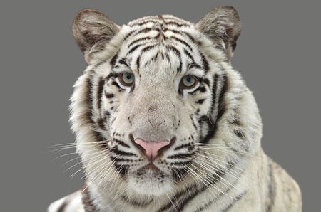 tiger isolated: white bengal tiger isolated