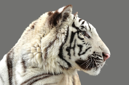 white tiger: white bengal tiger isolated
