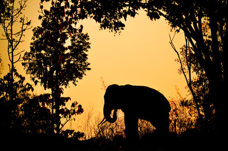 asia elephant in the forest at sunset photo