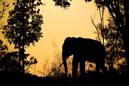 azië olifant in het bos bij zonsondergang