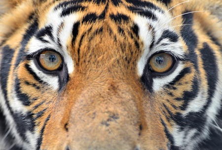 close up of bengal tiger eyes