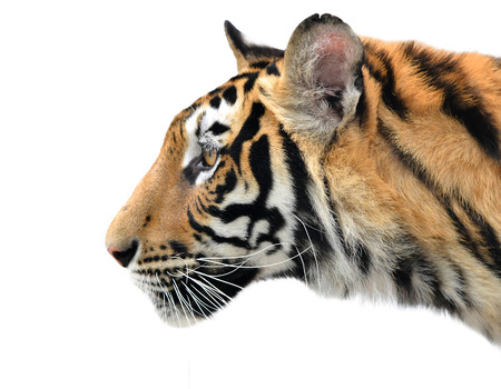 tiger isolated: close up of bengal tiger face on white