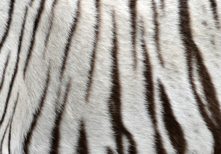 tiger white: close up of white bengal tiger fur