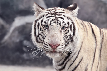 close up of white bengal tiger face Stock Photo