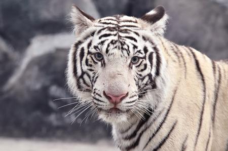 tigre blanc: un gros plan de visage blanc de tigre du Bengale