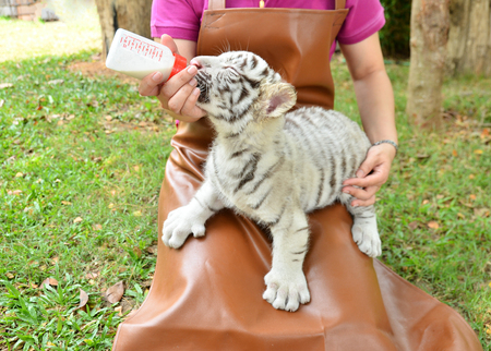 tiger white: zookeeper take care and feeding baby white tiger Stock Photo