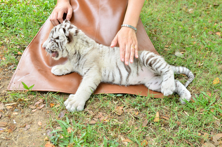 zookeeper take care and feeding baby white tiger photo