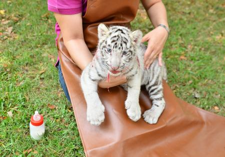 tigre bebe: zookeeper tener cuidado y alimentación del bebé tigre blanco