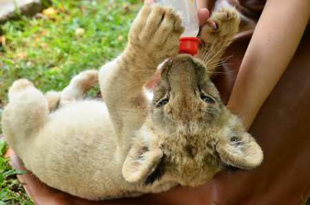 lion baby: Zookeeper prendersi cura e l'alimentazione del bambino leone