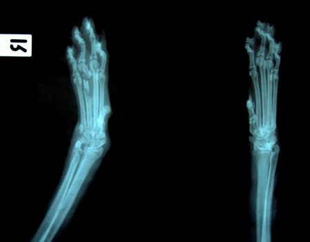 x ray picture of wild animal skeleton photo