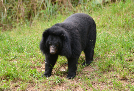 asiatic black bear or moon bear (ursus thibetanus) photo