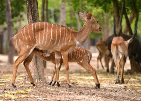 female nyala feeding their baby photo