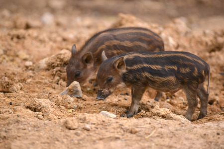 baby wild boar with striped photo