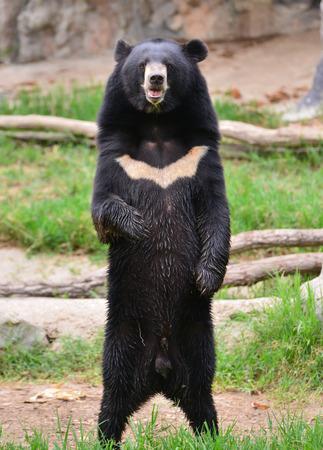 oso negro: oso negro asiático u oso de la luna (ursus thibetanus)