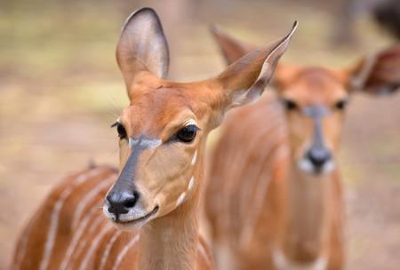 close up of female nyala head ( tragelaphus angasii ) photo